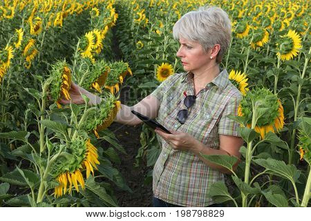 Farmer Examining Sunflower Plant