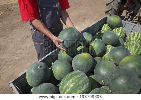 Farmer selling watermelons from heap at trailer and holding one to show quality