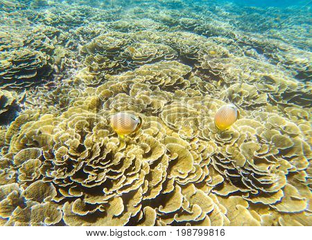 Tropic undersea coral landscape. Coral reef. Yellow butterflyfish. Tropical fishes Butterfly in wild nature. Shallow sea water wildlife. Marine ecosystem. Tropical snorkeling. Aquarium fish Butterfly