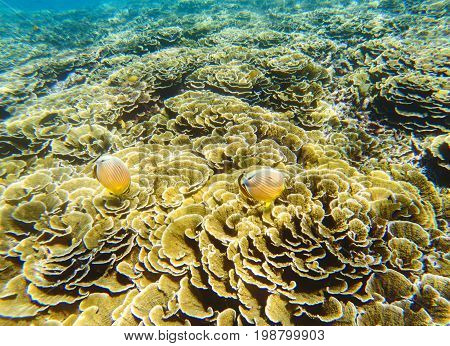 Undersea landscape. Coral reef and butterflyfish. Tropical fishes Butterfly in wild nature. Shallow sea water wildlife. Sea bottom with coral ecosystem. Tropical snorkeling. Aquarium fish Butterfly