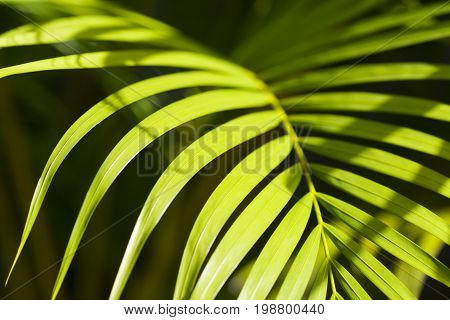 Sunny palm leaf photo background. Green palm leaf in sunlight. Sunny day exotic nature wallpaper. Tropical island summer. Vacation in tropics banner template. Coco palm leaf texture. Palm leaf closeup