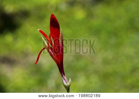 Red canna lily flower bud and green seed macro photo. Red tropical flower in bud. Fresh exotic plant on green background. Flower lily closeup. Red petals and green leaf. Lily floral banner template