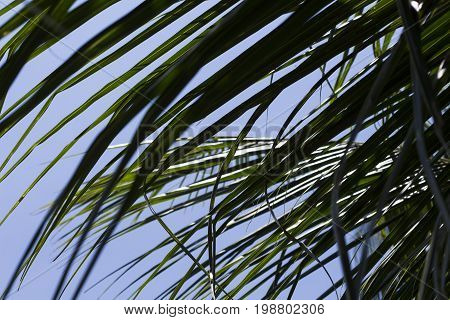 Fluffy green coco palm tree leaf. Palm leaf over sky background. Sunny day sky with palm leaves. Tropical nature vintage print or poster. Exotic vacation tourism banner. Tropical island holiday photo