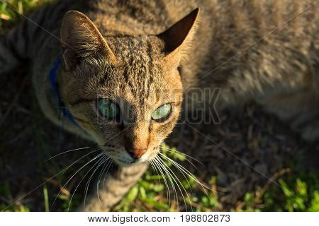 Grey cat with green eyes on green grass background. Domestic cat hunting outside. Summer vacation for pet. Kitty playing outside in sunny garden. Cat on grass meadow. Summer vaccination and vet care