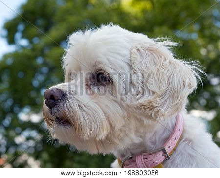 Head of vigilant havanese dog with pink collar