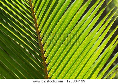 Coco palm leaf photo background. Green palm leaf in sunlight. Sunny day exotic nature wallpaper. Tropical island summer. Vacation in tropics banner template. Coco palm leaf texture. Palm leaf ornament