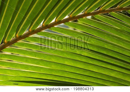 Fluffy palm leaf photo background. Green palm leaf in sunlight. Sunny day exotic nature wallpaper. Tropical island summer. Vacation in tropic banner template. Coco palm leaf texture. Palm leaf closeup