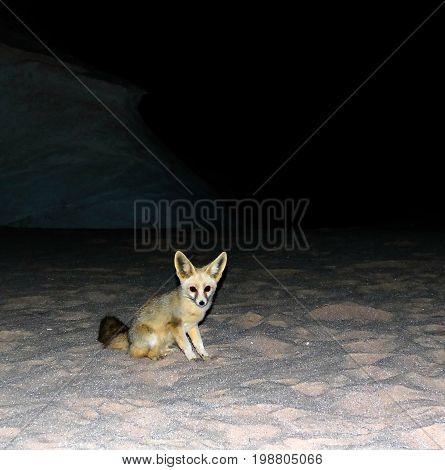 Night portrait of fennec fox in White desert near Farafra, Egypt