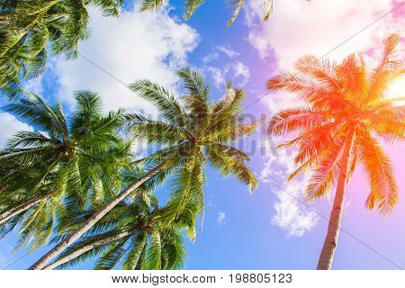 Red flare on coco palm trees. Tropical landscape with palms. Palm tree crown on cloudy sky. Sunny tropical island toned photo. Sunshine on palm leaf. Blooming tropical nature. Exotic island travel