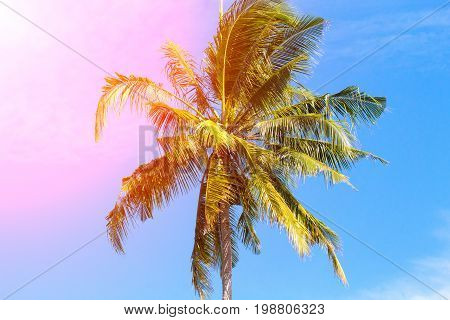 Coco palm tree in pink sunlight. Tropical landscape with palms. Palm tree crown on blue sky. Sunny tropical island toned photo. Sunshine on palm leaf. Blooming tropical nature. Exotic island travel