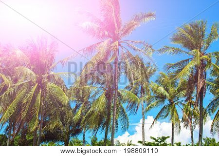 Pink sunlight on coco palm trees. Tropical landscape with palms. Palm tree crown on blue sky. Sunny tropical island toned photo. Sunshine on palm leaf. Blooming tropical nature. Exotic island travel