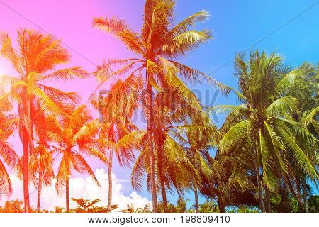 Pink light on coco palm trees. Tropical landscape with palms. Palm tree crown on blue sky. Sunny tropical island toned photo. Blooming tropical nature. Exotic island banner template with text place