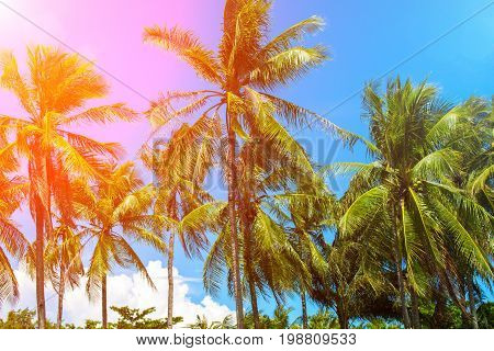 Coco palm trees in pink sun flare. Tropical landscape with palms. Palm tree crown on blue sky. Sunny tropical island toned photo. Sunny blooming tropical nature. Exotic island travel banner template