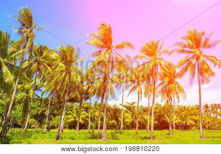 Rainbow light coco palm trees. Tropical landscape with palms. Palm tree crown on blue sky. Sunny tropical island toned photo. Sunshine on palm leaf. Blooming tropical nature. Exotic island travel view