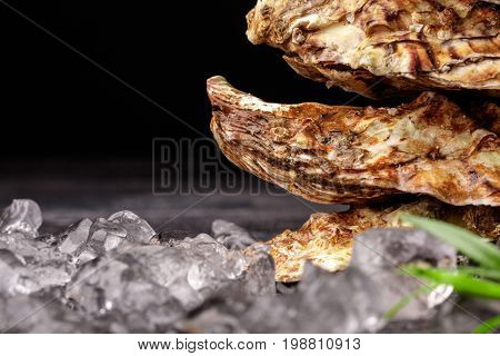 Close-up picture of three huge juicy oysters on a black background. Fresh tropical sea mollusks full of nutrients. Closed seashells with shiny ice cubes. The greatest delicacy. Copy space.