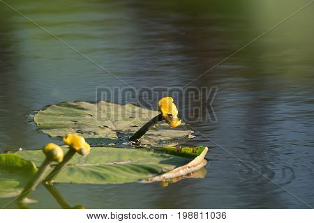 Yellow water-lily or Nuphar lutea blossoms in summer river