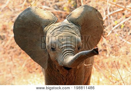 An adorable baby African Elephant with ears flapping and trunk extended in South Luangwa National Park Zambia. Motion blur is visible on the tip of the trunk
