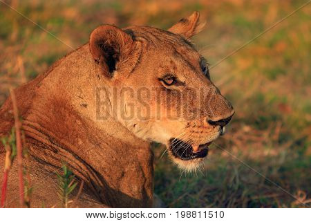 Side profile of a Lone Lioness face bathed in natural Golden light with a natural grass background in South Luangwa National Park Zambia