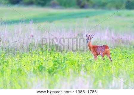 roe deer on green summer meadow. roe deers on meadow ( Capreolus capreolus )