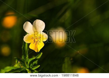 Close-up Of A Purple And Yellow Pansy Flower With Green Soft-focus In Background