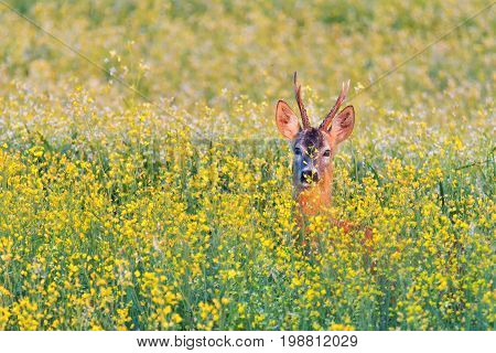 roe deer in flowers.  roe deers on meadow ( Capreolus capreolus )