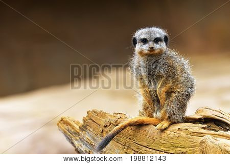The Meerkat Or Suricate (suricata Suricatta) Is A Small Carnivoran Belonging To The Mongoose Family