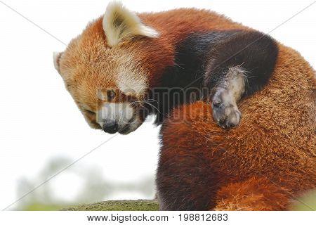 The Red Panda, Firefox Or Lesser Panda (taxonomic Name: Ailurus Fulgens,