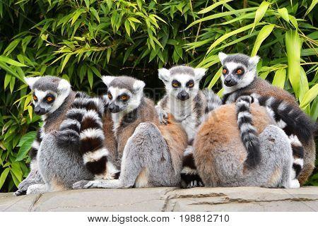 lemur monkey family on the grass. Lemur family plays