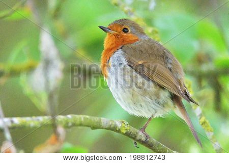 The European Robin (erithacus Rubecula), Known Simply As The Robin Or Robin Redbreast.