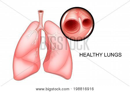 vector illustration of healthy lungs. pure bronchus