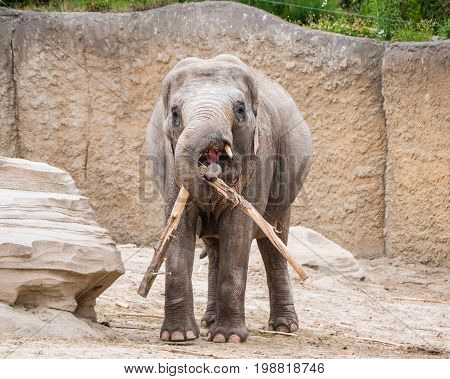 Young elephant drags a tree branch with his trunk
