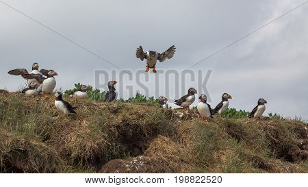 Atlantic Puffin (Fratercula arctica) in the wilds of coastal Northern UK