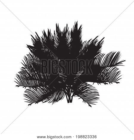 Cycas silhouette the black-and-white vector image on a white background