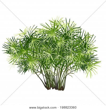 Papyrus bush the color vector image on a white background