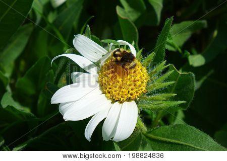 Bumblebee on White Wyethia (Mules Ears) wildflower, blooming in an Idaho mountain meadow.