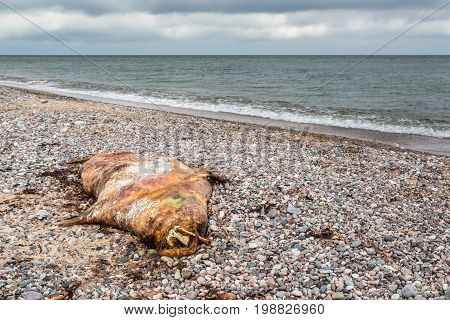 Dead seal laying on the beach at national park island in the Baltic sea landscape view.