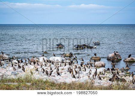 A colony of cormorant birds and seals at rocks in the Baltic sea. The island Gotska sandön Sweden.