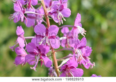 in the photo beautiful plant Ivan-tea (Epilobium angustifolium)