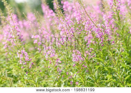 Pink flowers of fireweed (Epilobium or Chamerion angustifolium) in bloom ivan tea. Flowering willowherb or blooming sally