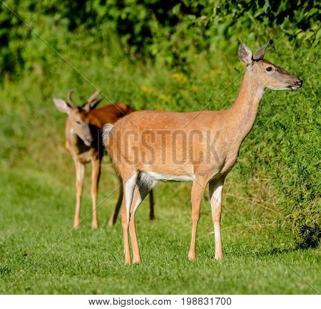 A female whitetail deer ( Odocoileus virginianus) shown in left profile, with a blurred buck behind her, in Sussex County New Jersey.