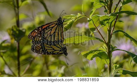 A pair of Monarch butterflies (Danaus plexippus) mating.  One is clutching a leaf and the pair are hanging vertically.  In Andover Township, Sussex County, New Jersey, USA