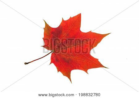 Red autumn maple leaf isolated on white background. Changes in nature. Features of autumn coloring of maple leaves