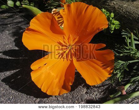Eschscholzia californica is a species of flowering plant in the Papaveraceae family, native to the United States and Mexico