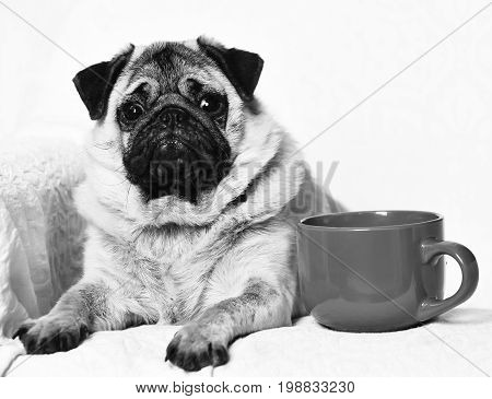 Pug dog with light brown fur and black muzzle sitting on chair near red mug for coffee or tea