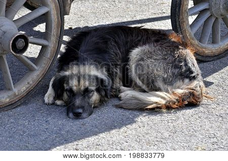 sleeping stray dog under a horse cariage