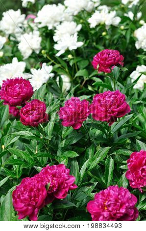 pink and white peony flowers at the flower-bed in the garden vertical composition