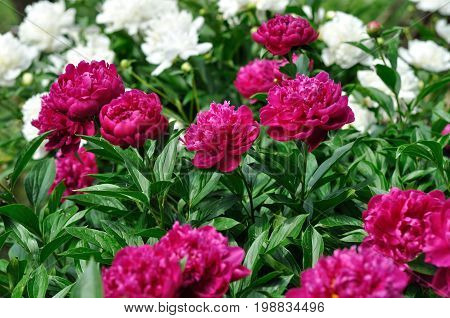 pink and white peony flowers at the flower-bed in the garden