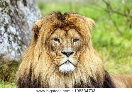 Male Lion With A Beautiful Mane