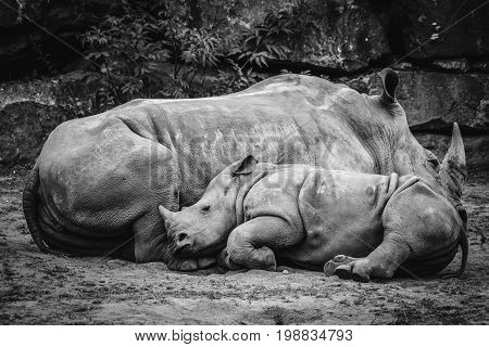 Rhino Calf Sleeping Up Against The Mother