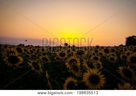 Beautiful sunset on the field with sunflowers